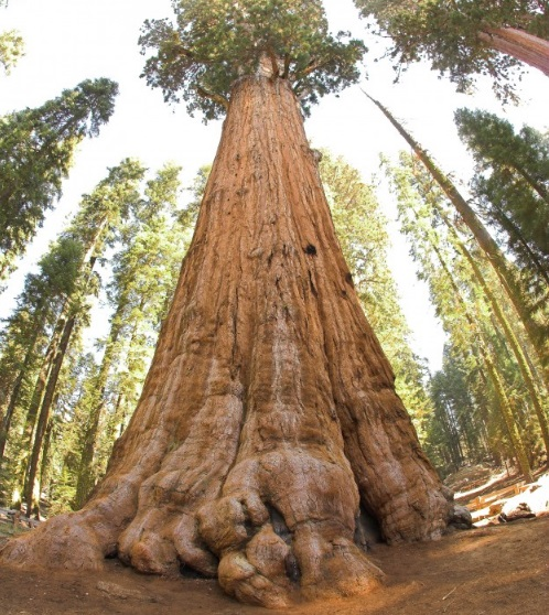World's largest tree (by volume) - United States