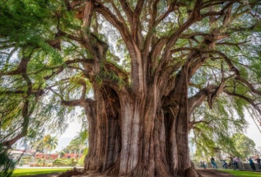 World's widest tree - Mexico
