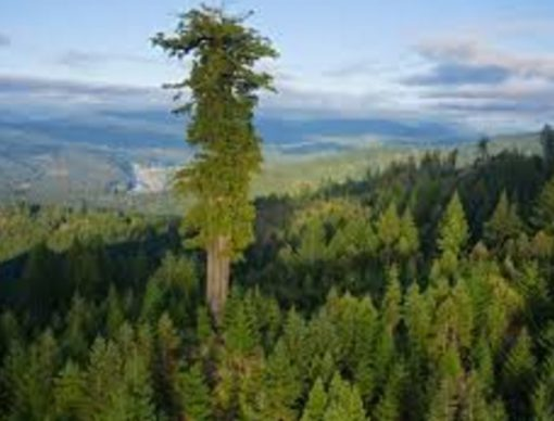 World's tallest tree, United States