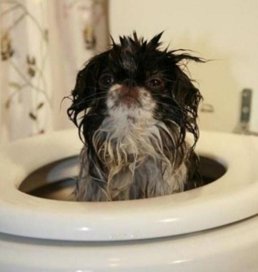 Dog in Toilet Bowl