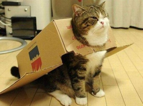 Maru the Scottish Fold cat