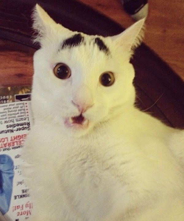 Sam the Khao Manee cat