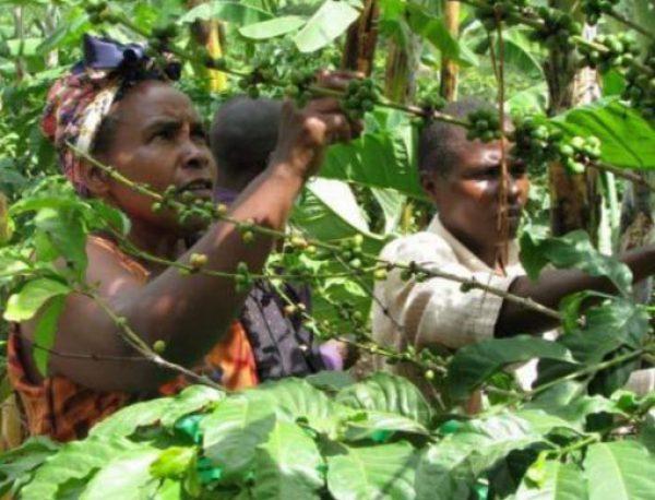 Uganda Coffee Production