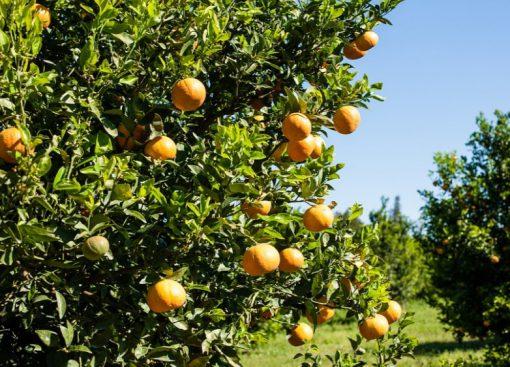Italy Orange Production