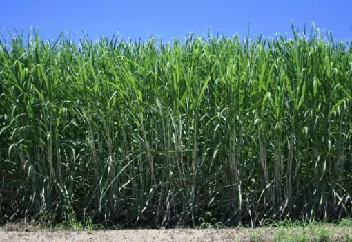 Sugar Plantation Australia