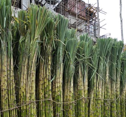 Sugar Plantation China