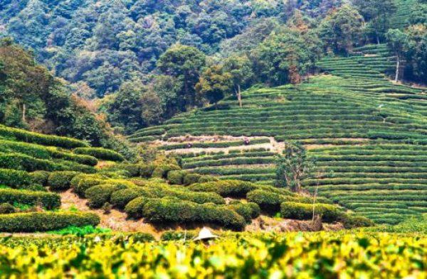 China Tea Production