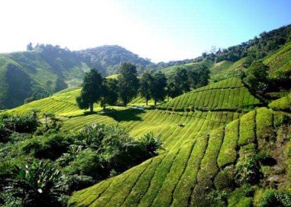 Japan Tea Production