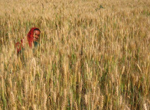 India Wheat Production