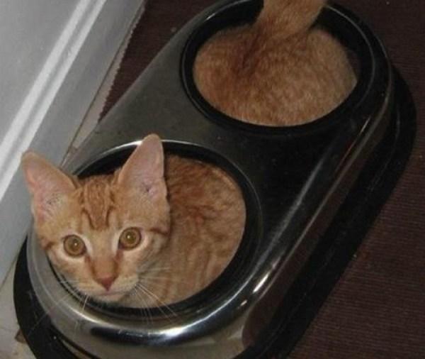 Cat Inside Food Bowl