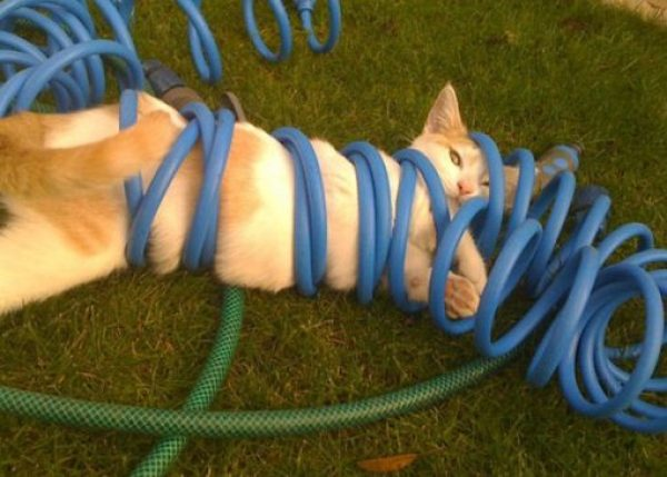 Cat Tangled Up in a Garden Hose