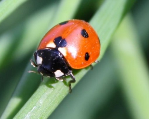 Orange Shell, Black Spots Ladybug/Ladybird