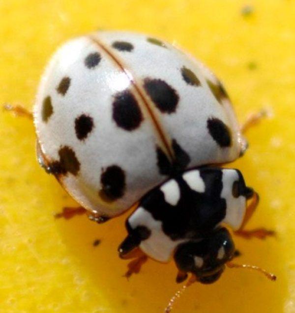 White Shell, Black Spots Ladybug/Ladybird
