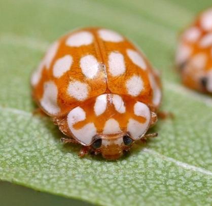 Orange Shell, White Spots Ladybug/Ladybird