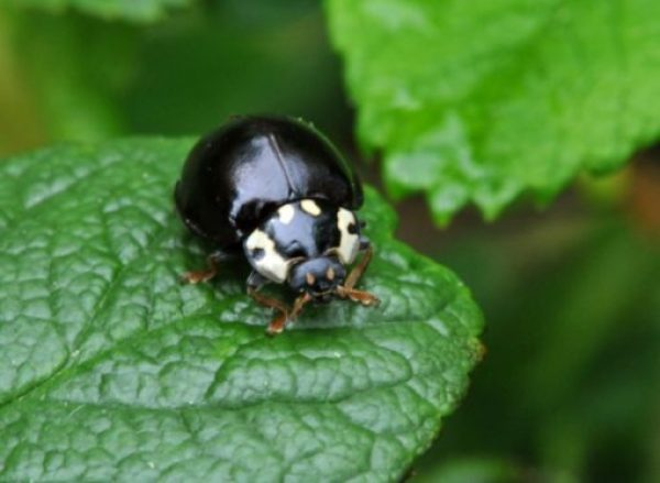 Black Ladybug/Ladybird