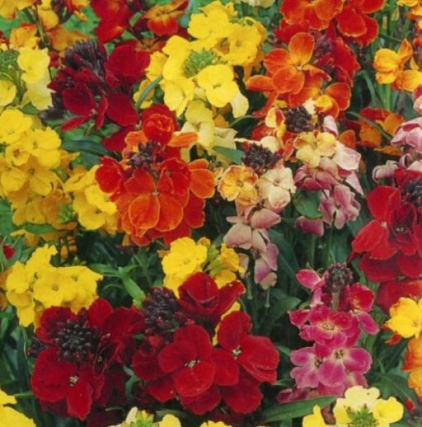 Wallflower (Choice Mixed)