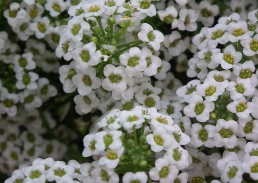 Alyssum (Snow Carpet)