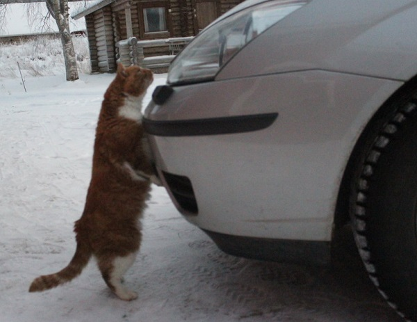 Cat Lifting Car