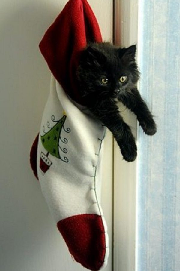 Cat in Christmas Stocking
