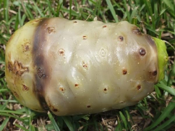 Cheese Fruit (Morinda citrifolia)