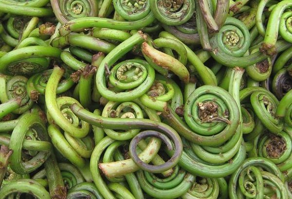 Fiddlehead fern (Polystichum munitum)
