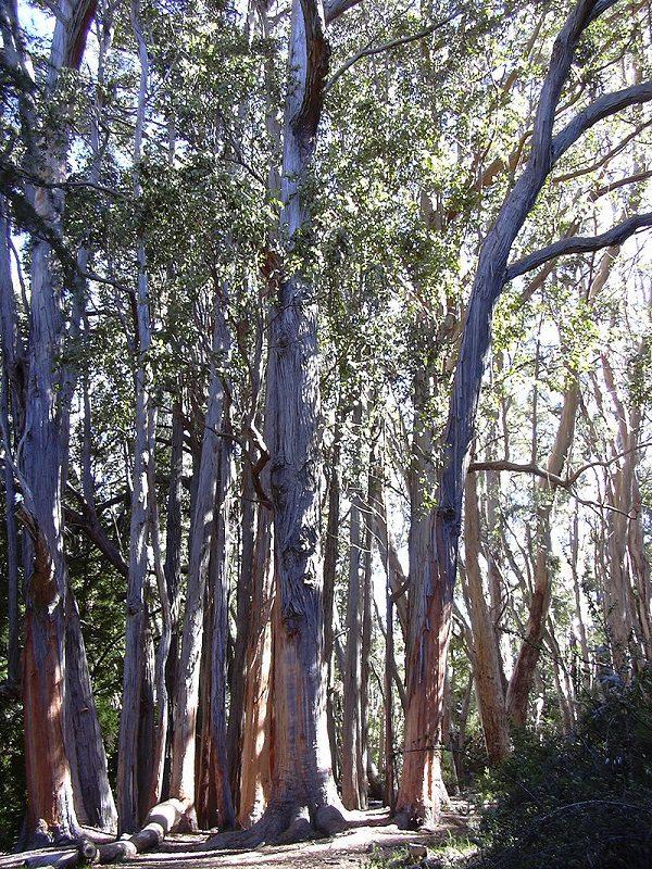 Brown Top Stringybark Tree