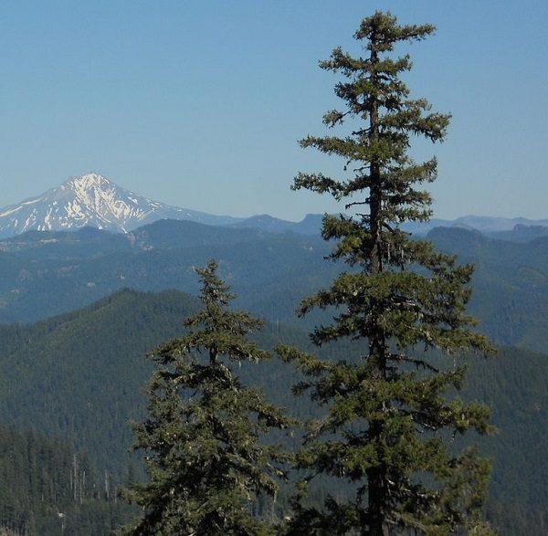 Coast Douglas-fir Tree
