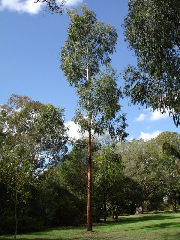 Manna Gum Tree
