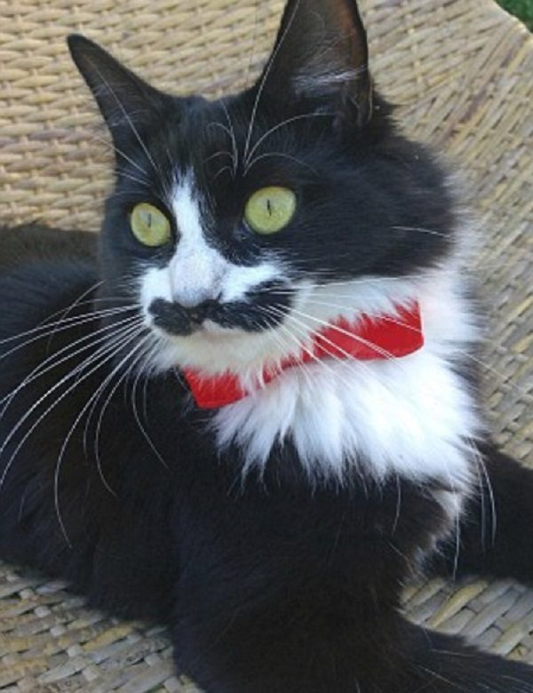 Cat With Well Groomed Mustache