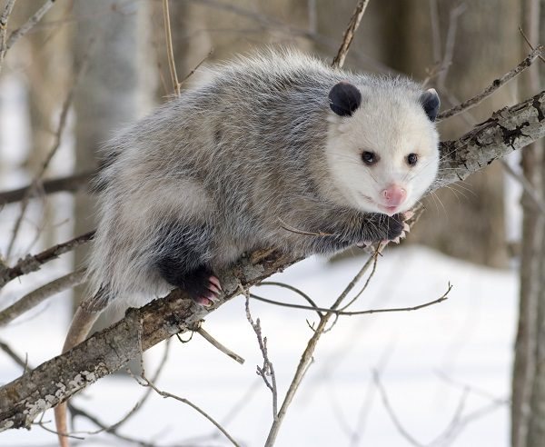 North American Opossum