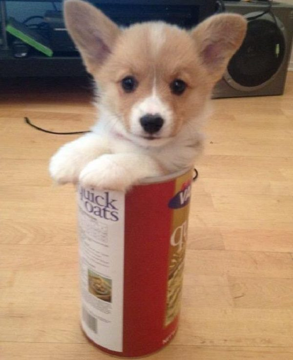 Dog Inside an Oat Cakes Can