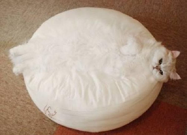 Camouflage White Cat
