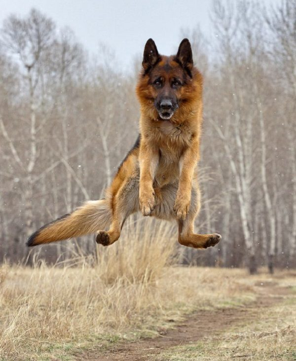 Funny German Shepherd