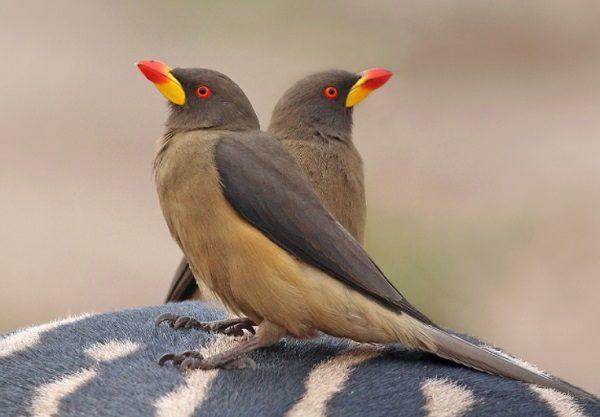 Oxpecker Bird
