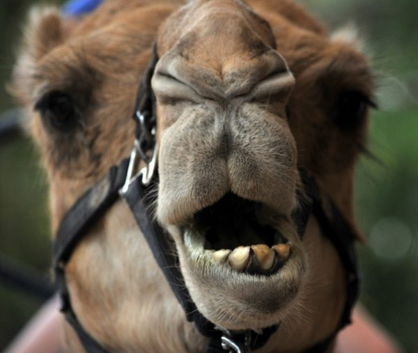 The Camel with 62 Mentions in the Bible