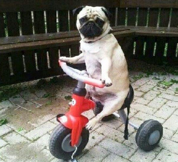 Dog Riding a Trike