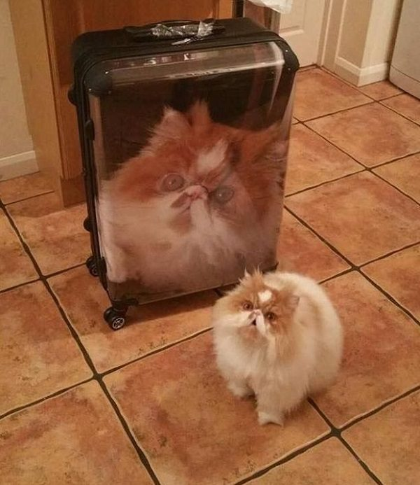 Cat Next to Cat Suitcase