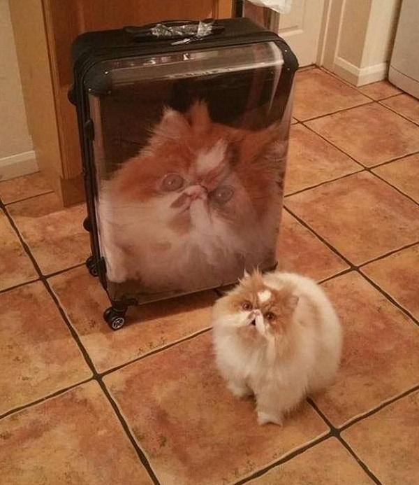 Cat Next to Cat Suitcase