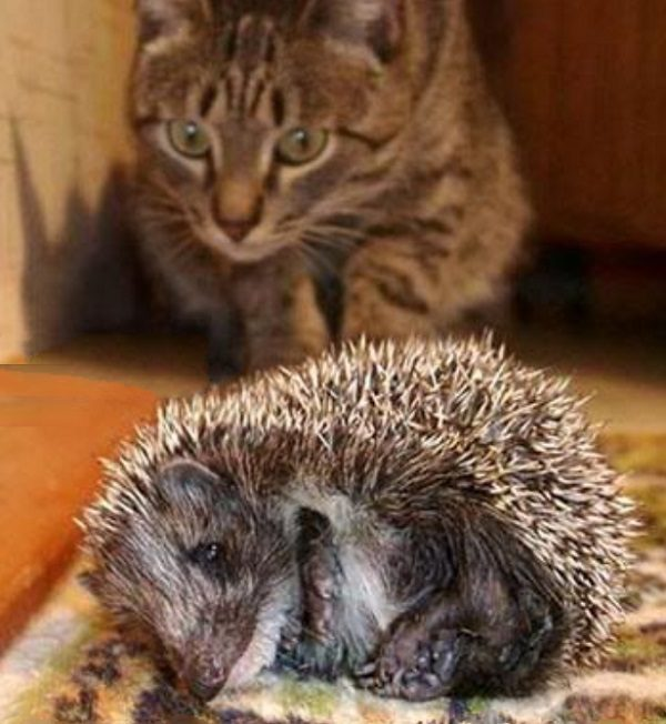 Cat Learning Not to Touch a Hedgehog