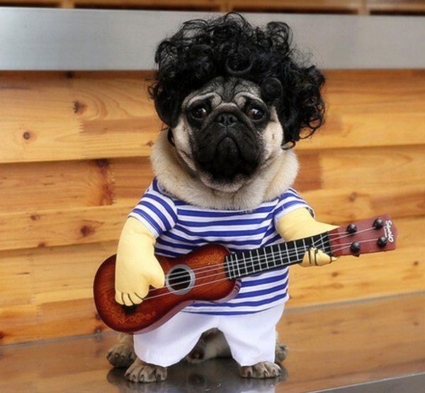 Pug Dressed as Guitar Player