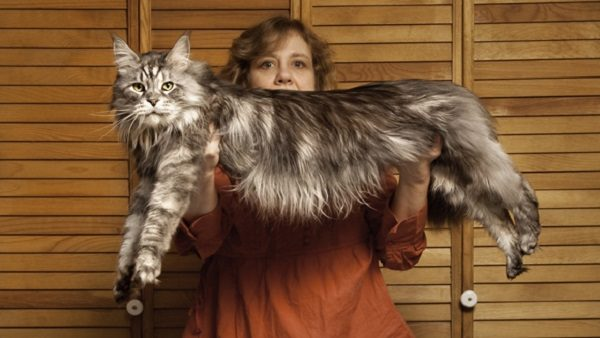 Stewie, the World's Longest Domestic Cat