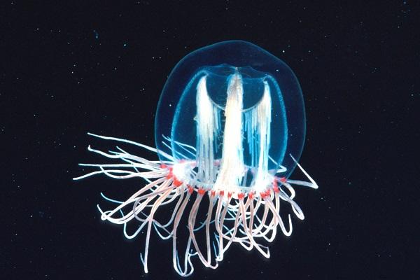 Turritopsis Nutricula jellyfish