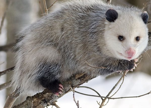 Virginian Opossum