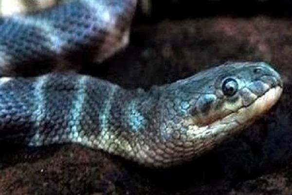 Beaked Sea Snake