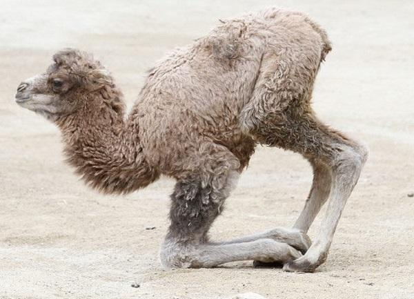 Baby Arabian Camel (Dromedary)