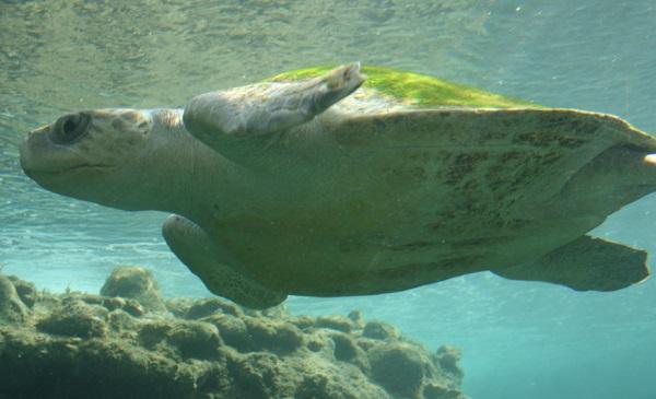 Flatback Turtle