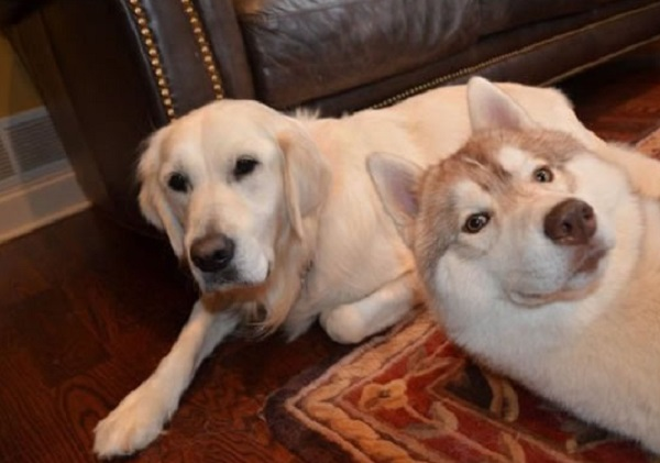 Husky and Labrador Dogs Photobomb