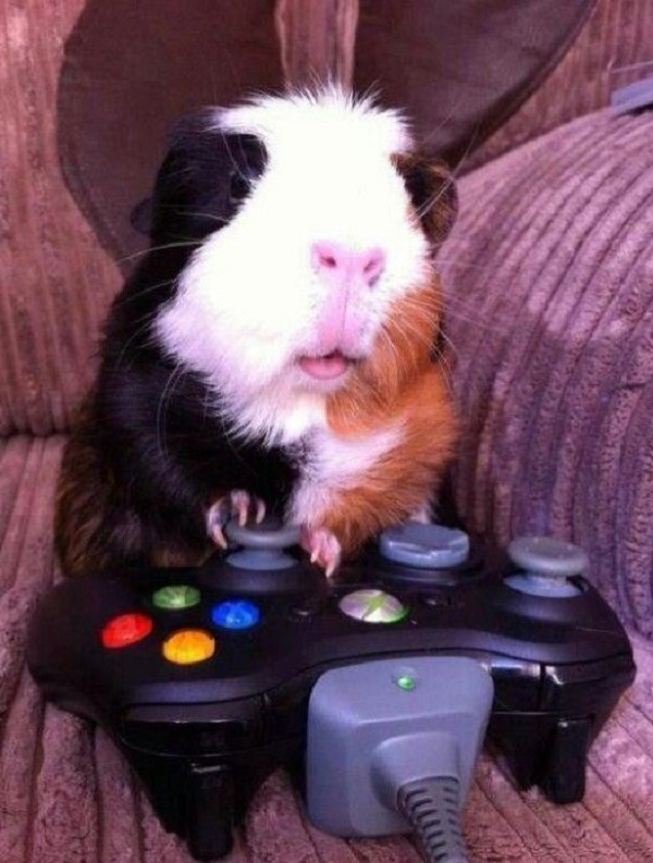 Guinea Pig Playing Xbox