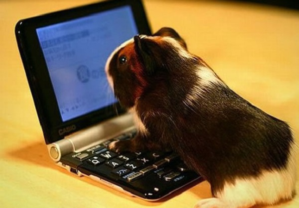 Guinea Pig Checking his Twitter