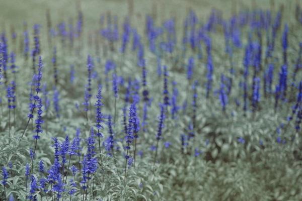 Plant Lavender